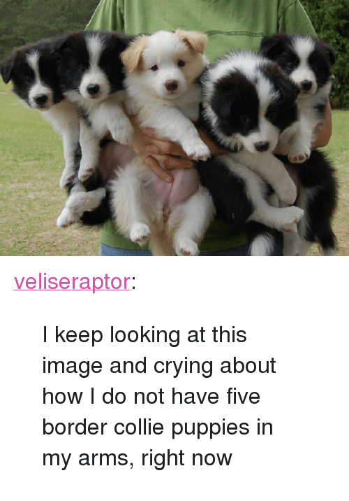 """Crying, Puppies, and Tumblr: <p><a href=""""http://veliseraptor.tumblr.com/post/160737914790/i-keep-looking-at-this-image-and-crying-about-how"""" class=""""tumblr_blog"""">veliseraptor</a>:</p><blockquote><p>I keep looking at this image and crying about how I do not have five border collie puppies in my arms, right now</p></blockquote>"""