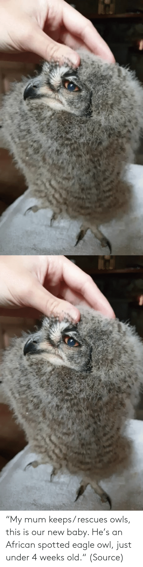 "just: ""My mum keeps/ rescues owls, this is our new baby. He's an African spotted eagle owl, just under 4 weeks old."" (Source)"