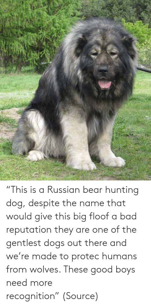 "humans: ""This is a Russian bear hunting dog, despite the name that would give this big floof a bad reputation they are one of the gentlest dogs out there and we're made to protec humans from wolves. These good boys need more recognition"" (Source)"