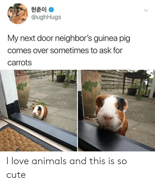 carrots: 현춘01 *  @ughHugs  My next door neighbor's guinea pig  comes over sometimes to ask for  carrots I love animals and this is so cute