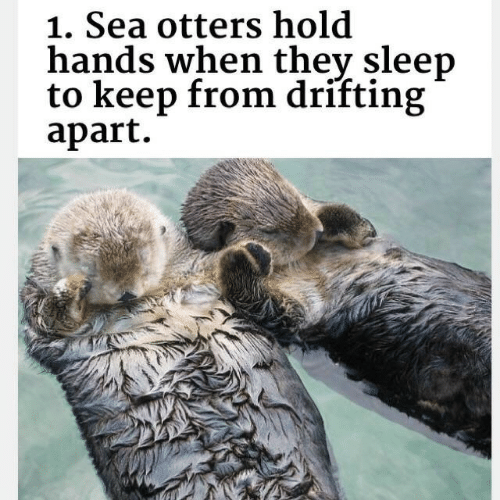 Otters, Sleep, and Hold: 1. Sea otters hold  hands when thev sleep  to keep from drifting  apart.