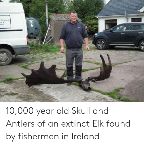 antlers: 10,000 year old Skull and Antlers of an extinct Elk found by fishermen in Ireland