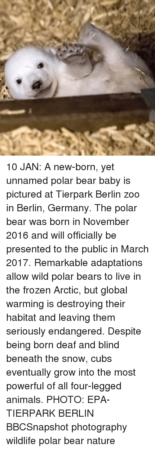 Frozen, Global Warming, and Memes: 10 JAN: A new-born, yet unnamed polar bear baby is pictured at Tierpark Berlin zoo in Berlin, Germany. The polar bear was born in November 2016 and will officially be presented to the public in March 2017. Remarkable adaptations allow wild polar bears to live in the frozen Arctic, but global warming is destroying their habitat and leaving them seriously endangered. Despite being born deaf and blind beneath the snow, cubs eventually grow into the most powerful of all four-legged animals. PHOTO: EPA-TIERPARK BERLIN BBCSnapshot photography wildlife polar bear nature