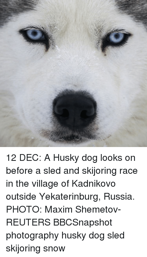 sleds: 12 DEC: A Husky dog looks on before a sled and skijoring race in the village of Kadnikovo outside Yekaterinburg, Russia. PHOTO: Maxim Shemetov- REUTERS BBCSnapshot photography husky dog sled skijoring snow