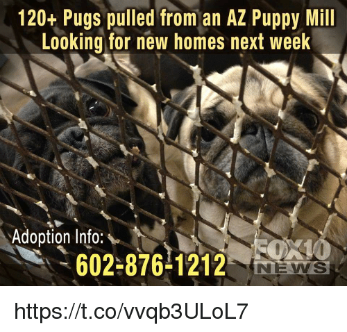 Memes, News, and Pugs: 120+ Pugs pulled from an AZ Puppy Mill  Looking for new homes next week  Adoption Info:  602-876-1212  NEWS https://t.co/vvqb3ULoL7