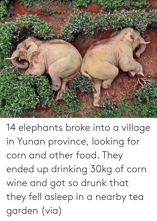 looking: 14 elephants broke into a village in Yunan province, looking for corn and other food. They ended up drinking 30kg of corn wine and got so drunk that they fell asleep in a nearby tea garden (via)