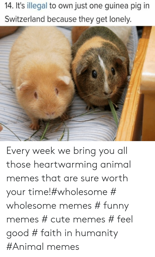 cute memes: 14. It's illegal to own just one guinea pig in  Switzerland because they get lonely. Every week we bring you all those heartwarming animal memes that are sure worth your time!#wholesome # wholesome memes # funny memes # cute memes # feel good # faith in humanity #Animal memes