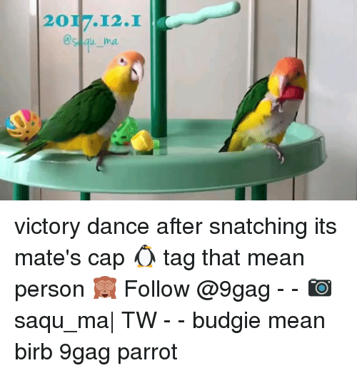 9gag, Memes, and Mean: 2017.12.I  's au ma victory dance after snatching its mate's cap 🐧 tag that mean person 🙈 Follow @9gag - - 📷saqu_ma| TW - - budgie mean birb 9gag parrot