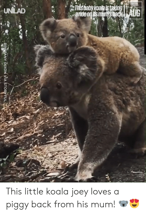 koala: 2019  This baby koala istaking  aride on its mum's back| AUG  UNILAD  BRITTANY DIXON VIA STORYFUL This little koala joey loves a piggy back from his mum! 🐨😍