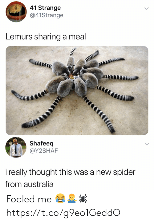 Meal: 41 Strange  @41Strange  Lemurs sharing a meal  Shafeeq  @Y2SHAF  i really thought this was a new spider  from australia  tfife Fooled me 😂🤷‍♂️🕷 https://t.co/g9eo1GeddO