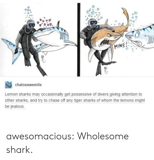 Jealous, Tumblr, and Shark: 50  MINE!  chainsxwsmile  Lemon sharks may occasionally get possessive of divers giving attention to  other sharks, and try to chase off any tiger sharks of whom the lemons might  be jealous. awesomacious:  Wholesome shark.