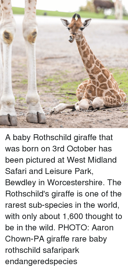 Memes, Giraffe, and Safari: A baby Rothschild giraffe that was born on 3rd October has been pictured at West Midland Safari and Leisure Park, Bewdley in Worcestershire. The Rothschild's giraffe is one of the rarest sub-species in the world, with only about 1,600 thought to be in the wild. PHOTO: Aaron Chown-PA giraffe rare baby rothschild safaripark endangeredspecies