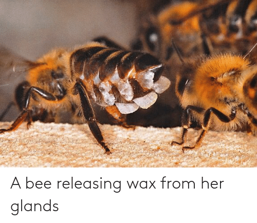 wax: A bee releasing wax from her glands