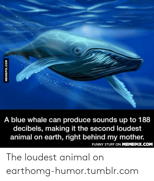 Loudest: A blue whale can produce sounds up to 188  decibels, making it the second loudest  animal on earth, right behind my mother.  FUNNY STUFF ON MEMEPIX.COM  MEMEPIX.COM The loudest animal on earthomg-humor.tumblr.com