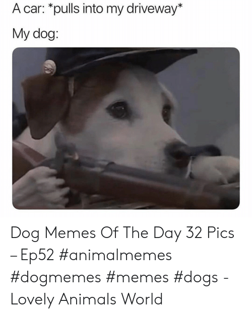 driveway: A car: *pulls into my driveway*  My dog: Dog Memes Of The Day 32 Pics – Ep52 #animalmemes #dogmemes #memes #dogs - Lovely Animals World