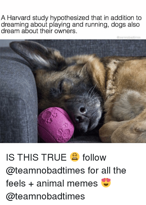 Dogs, Memes, and True: A Harvard study hypothesized that in addition to  dreaming about playing and running, dogs also  about their owners  @reamnobadtimes IS THIS TRUE 😩 follow @teamnobadtimes for all the feels + animal memes 😍 @teamnobadtimes
