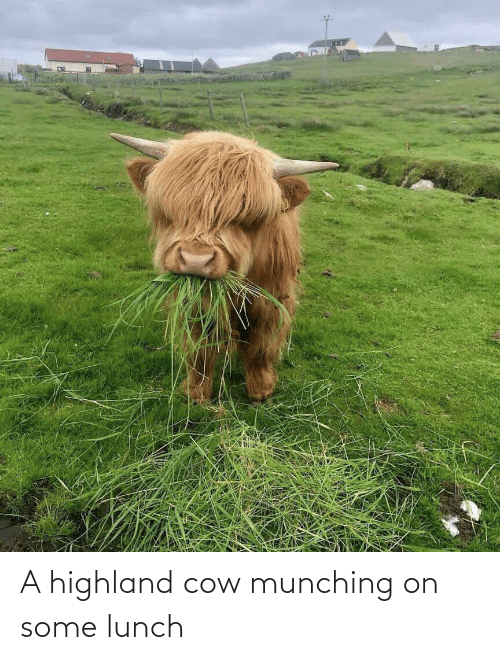 cow: A highland cow munching on some lunch