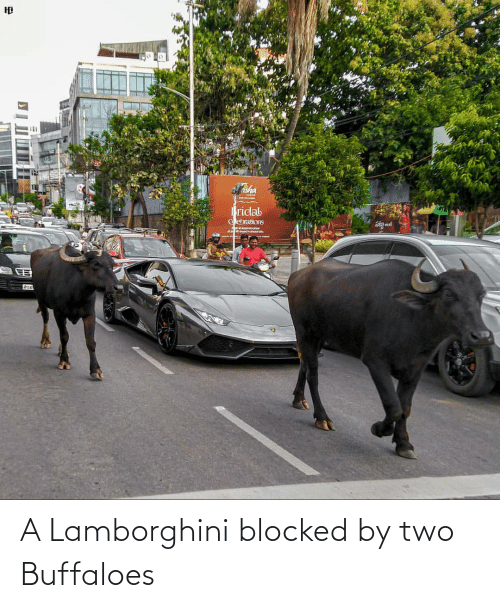 two: A Lamborghini blocked by two Buffaloes