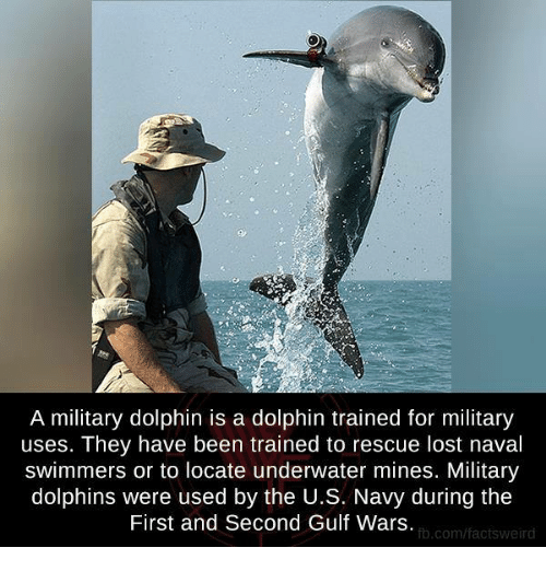 Memes, Lost, and Dolphin: A military dolphin is a dolphin trained for military  uses. They have been trained to rescue lost naval  swimmers or to locate underwater mines. Military  dolphins were used by the U.S. Navy during the  First and Second Gulf Wars  fb.com/factsweird