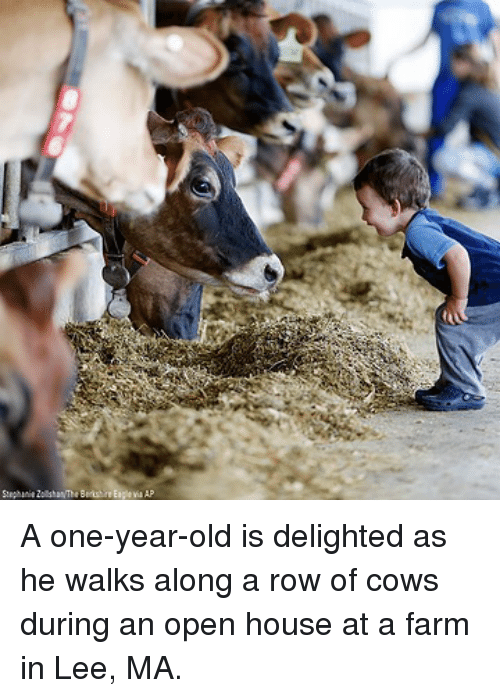 Memes, House, and Old: A one-year-old is delighted as he walks along a row of cows during an open house at a farm in Lee, MA.
