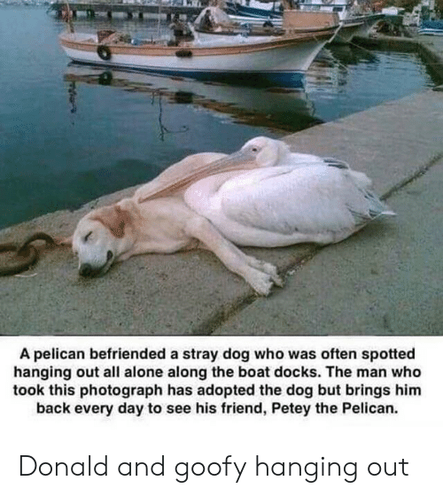 Being Alone, Back, and Boat: A pelican befriended a stray dog who was often spotted  hanging out all alone along the boat docks. The man who  took this photograph has adopted the dog but brings him  back every day to see his friend, Petey the Pelican. Donald and goofy hanging out