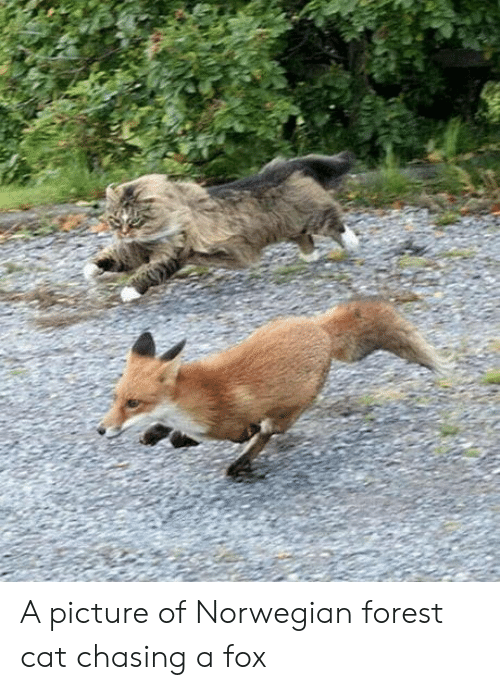 Norwegian, A Picture, and Fox: A picture of Norwegian forest cat chasing a fox