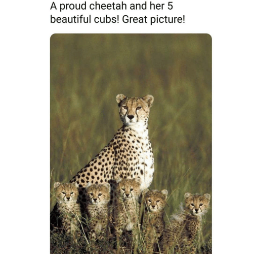 Beautiful, Memes, and Cheetah: A proud cheetah and her 5  beautiful cubs! Great picture!