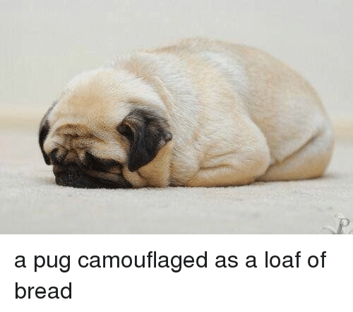 a pug camouflaged as a loaf of bread 6849459 a pug camouflaged as a loaf of bread pugs meme on conservative memes