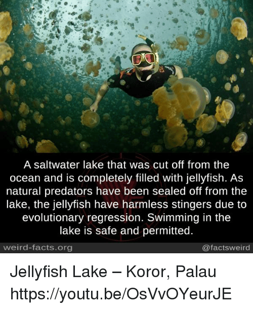 Facts, Memes, and Weird: A saltwater lake that was cut off from the  ocean and is completely filled with jellyfish. As  natural predators have been sealed off from the  lake, the jellyfish have harmless stingers due to  evolutionary regression. Swimming in the  lake is safe and permitted  weird-facts.org  @factsweird Jellyfish Lake – Koror, Palau https://youtu.be/OsVvOYeurJE