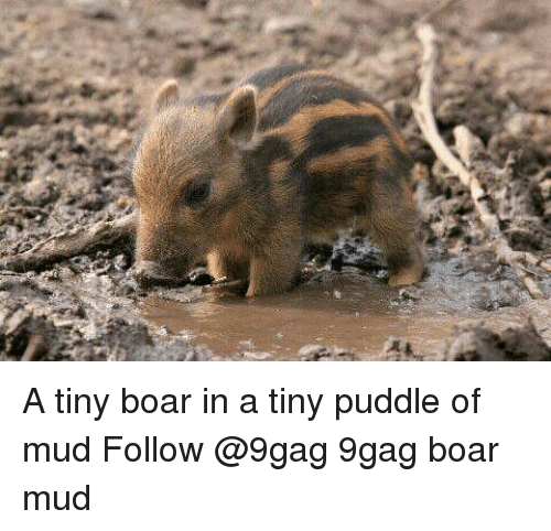 9gag, Memes, and 🤖: A tiny boar in a tiny puddle of mud Follow @9gag 9gag boar mud