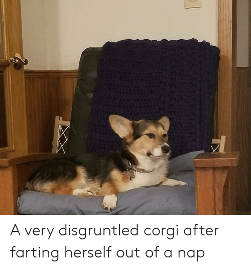 farting: A very disgruntled corgi after farting herself out of a nap