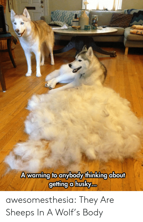 Tumblr, Blog, and Wolf: A warning to anybody thinking about  getting a husk.c. awesomesthesia:  They Are Sheeps In A Wolf's Body