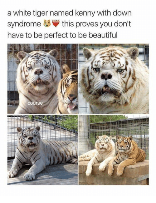 Memes, Down Syndrome, and Tiger: a white tiger named kenny with down  syndrome this proves you don't  have to be perfect to be beautifuul  course