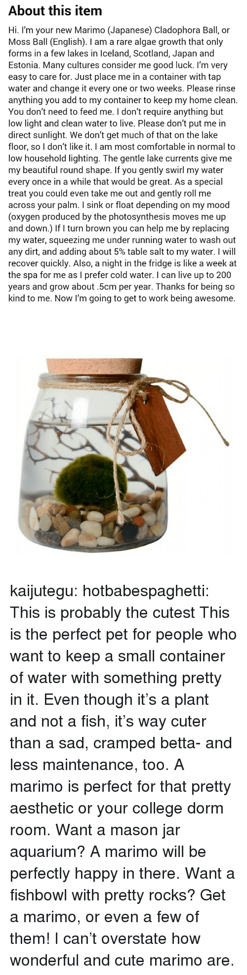 Cuter Than: About this item  Hi. I'm your new Marimo (Japanese) Cladophora Ball, or  Moss Ball (English). I am a rare algae growth that only  forms in a few lakes in Iceland, Scotland, Japan and  Estonia. Many cultures consider me good luck. l'm very  easy to care for. Just place me in a container with tap  water and change it every one or two weeks. Please rinse  anything you add to my container to keep my home clean.  You don't need to feed me. I don't require anything but  low light and clean water to live. Please don't put me in  direct sunlight. We don't get much of that on the lake  floor, so I don't like it. I am most comfortable in normal to  low household lighting. The gentle lake currents give me  my beautiful round shape. If you gently swirl my water  every once in a while that would be great. As a special  treat you could even take me out and gently roll me  across your palm. I sink or float depending on my mood  (oxygen produced by the photosynthesis moves me up  and down.) If turn brown you can help me by replacing  my water, squeezing me under running water to wash out  any dirt, and adding about 5% table salt to my water. I will  recover quickly. Also, a night in the fridge is like a week at  the spa for me as I prefer cold water. I can live up to 200  years and grow about.5cm per year. Thanks for being so  kind to me. Now I'm going to get to work being awesome. kaijutegu: hotbabespaghetti: This is probably the cutest  This is the perfect pet for people who want to keep a small container of water with something pretty in it. Even though it's a plant and not a fish, it's way cuter than a sad, cramped betta- and less maintenance, too. A marimo is perfect for that pretty aesthetic or your college dorm room. Want a mason jar aquarium? A marimo will be perfectly happy in there. Want a fishbowl with pretty rocks? Get a marimo, or even a few of them! I can't overstate how wonderful and cute marimo are.