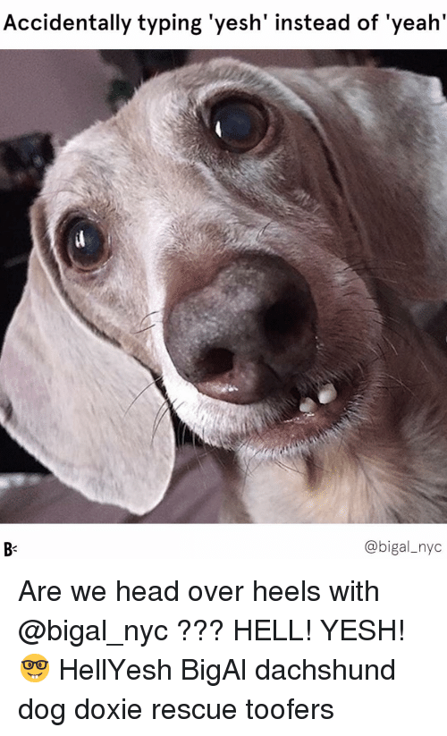 Head, Memes, and Yeah: Accidentally typing 'yesh' instead of 'yeah'  @bigal_nyc Are we head over heels with @bigal_nyc ??? HELL! YESH! 🤓 HellYesh BigAl dachshund dog doxie rescue toofers
