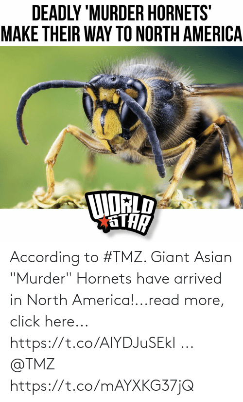 """According: According to #TMZ.  Giant Asian """"Murder"""" Hornets have arrived in North America!...read more, click here... https://t.co/AlYDJuSEkI ... @TMZ https://t.co/mAYXKG37jQ"""