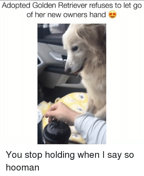 Memes, Golden Retriever, and 🤖: Adopted Golden Retriever refuses to let go  of her new owners hand You stop holding when I say so hooman