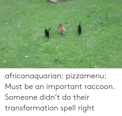 Raccoon: africanaquarian: pizzamenu: Must be an important raccoon.   Someone didn't do their transformation spell right