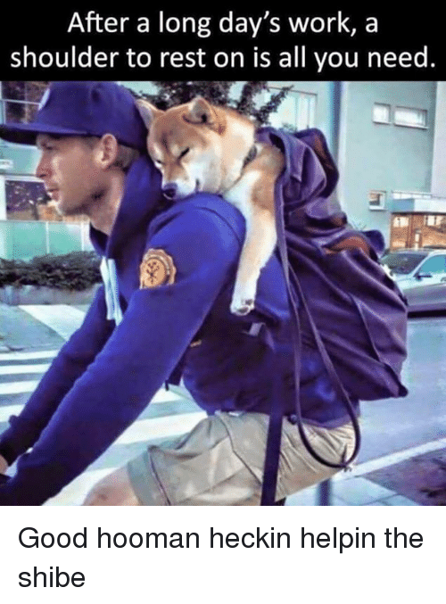 Heckin: After a long day's work, a  shoulder to rest on is all you need. Good hooman heckin helpin the shibe