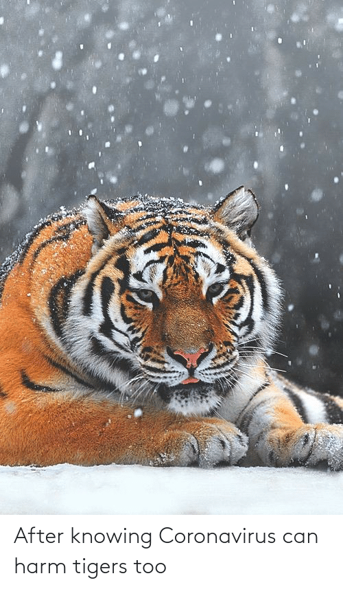 Harm: After knowing Coronavirus can harm tigers too