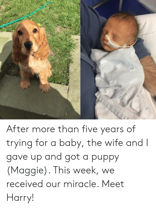 Puppy, Wife, and Baby: After more than five years of trying for a baby, the wife and I gave up and got a puppy (Maggie). This week, we received our miracle. Meet Harry!