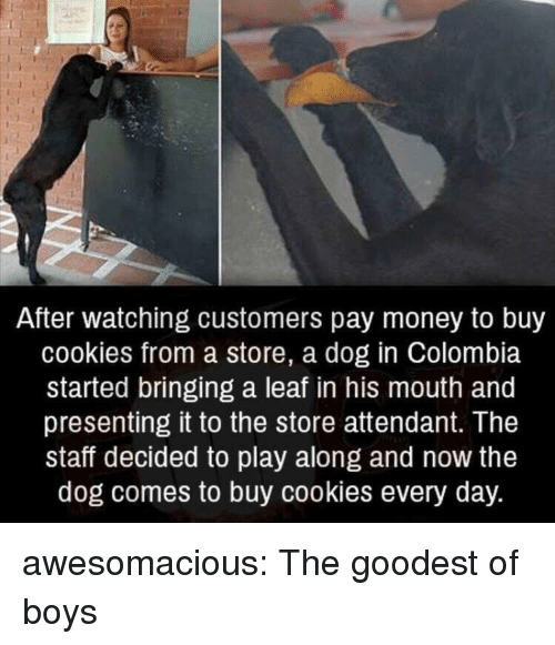 Cookies, Money, and Tumblr: After watching customers pay money to buy  cookies from a store, a dog in Colombia  started bringing a leaf in his mouth and  presenting it to the store attendant. The  staff decided to play along and now the  dog comes to buy cookies every day. awesomacious:  The goodest of boys