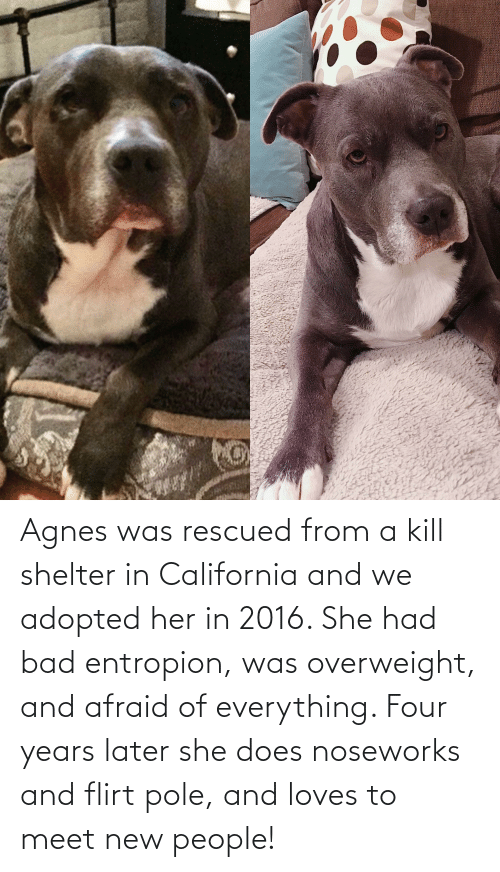 New People: Agnes was rescued from a kill shelter in California and we adopted her in 2016. She had bad entropion, was overweight, and afraid of everything. Four years later she does noseworks and flirt pole, and loves to meet new people!