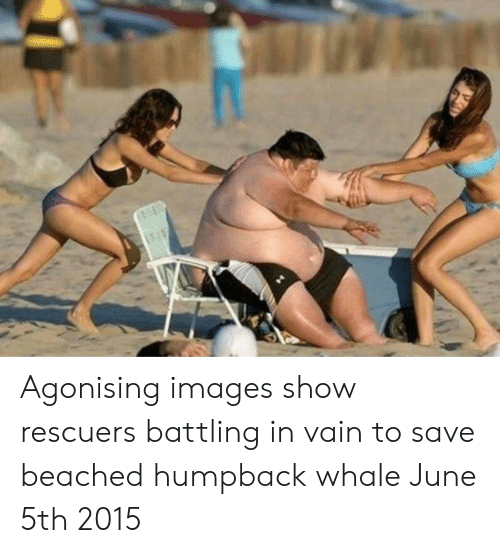 Images, Whale, and Humpback Whale: Agonising images show rescuers battling in vain to save beached humpback whale June 5th 2015