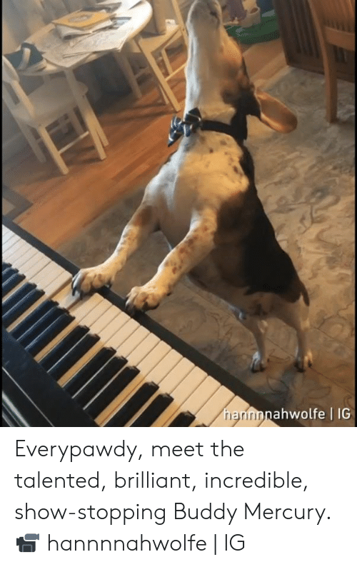 Dank, Mercury, and Brilliant: ahwolfe | IG  rri Everypawdy, meet the talented, brilliant, incredible, show-stopping Buddy Mercury.  📹 hannnnahwolfe | IG