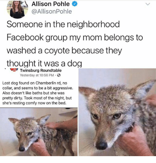 Facebook, Ironic, and Lost: Allison Pohle  @AllisonPohle  Someone in the neighborhood  Facebook group my mom belongs to  washed a coyote because they  thought it was a dog  Twinsburg Roundtable  Yesterday at 10:56 PM  Lost dog found on Chamberlin rd, no  collar, and seems to be a bit aggressive.  Also doesn't like baths but she was  pretty dirty. Took most of the night, but  she's resting comfy now on the bed