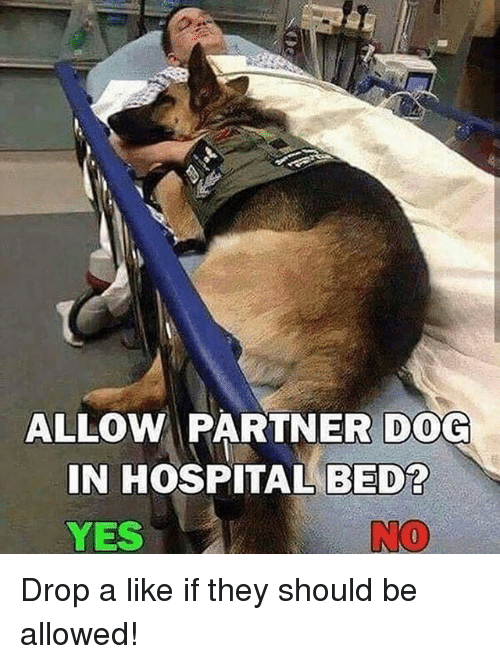 Memes, Hospital, and 🤖: ALLOW PARTNER D0G  IN HOSPITAL BED?  YES  NO Drop a like if they should be allowed!