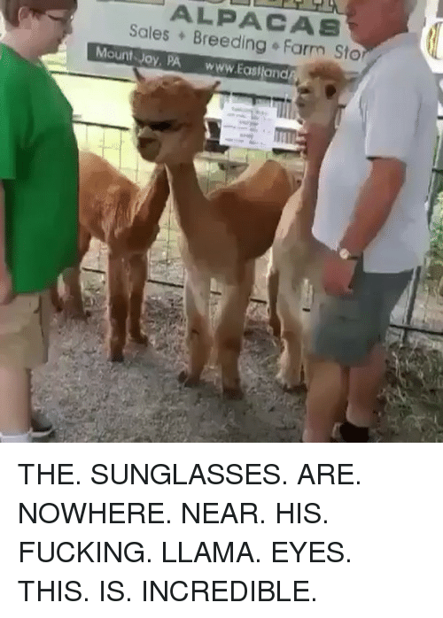 Fucking, Memes, and Sunglasses: ALPACAS  Sales Breeding Farm Sto  Mount Joy, PA www.Eastland THE. SUNGLASSES. ARE. NOWHERE. NEAR. HIS. FUCKING. LLAMA. EYES. THIS. IS. INCREDIBLE.