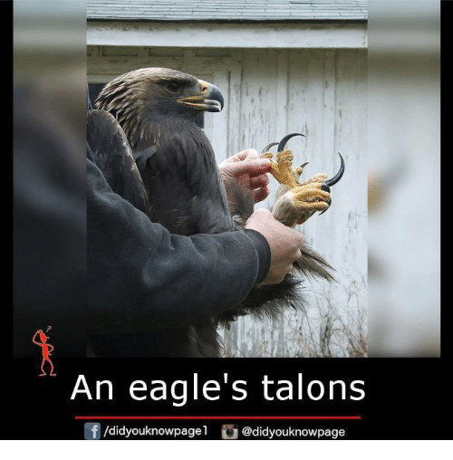 Memes, Eagle, and 🤖: An eagle's talons  f /didyouknowpagel  @didyouknowpage
