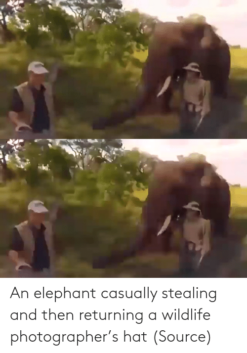 Elephant: An elephant casually stealing and then returning a wildlife photographer's hat (Source)